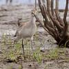 Willet <br /> Heron Pond <br /> Riverlands Migratory Bird Sanctuary