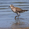 American Golden-Plover <br /> pool just outside entrance <br /> Confluence Point State Park