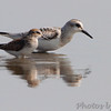 Sanderling <br /> Heron Pond <br /> Riverlands Migratory Bird Sanctuary