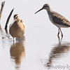 Stilt Sandpiper and Dowitcher sp. <br /> Heron Pond <br /> Riverlands Migratory Bird Sanctuary