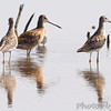 Stilt Sandpipers and Dowitcher sp. <br /> Heron Pond <br /> Riverlands Migratory Bird Sanctuary