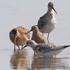 Stilt Sandpiper <br /> Short-billed Dowitcher, Pectoral Sandpiper <br /> Sanderling <br /> Heron Pond <br /> Riverlands Migratory Bird Sanctuary
