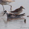 Red-necked Phalarope <br /> Heron Pond <br /> Riverlands Migratory Bird Sanctuary
