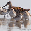 Sanderling, Short-billed Dowitcher <br /> Least and Western Sandpipers <br /> Heron Pond <br /> Riverlands Migratory Bird Sanctuary