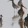 Red-necked Phalarope, Short-billed Dowitcher and Pectoral Sandpiper <br /> Heron Pond <br /> Riverlands Migratory Bird Sanctuary
