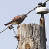 9/15/2011 <br /> American Kestrel <br /> Intersection of Confluence and Red School Roads