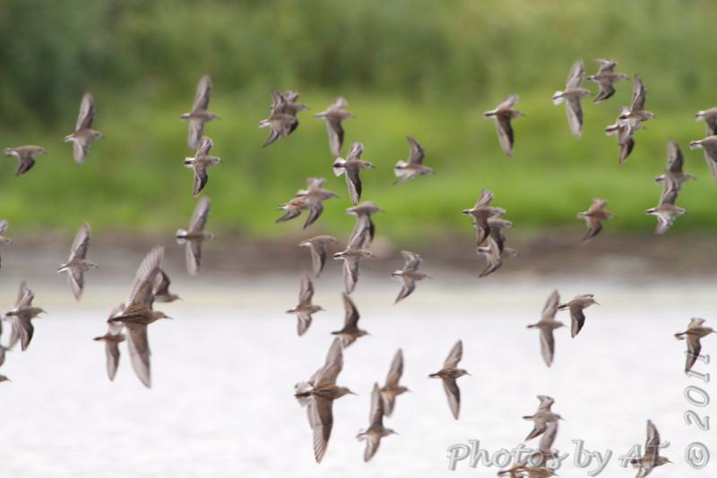 Sandpipers over Heron Pond <br /> Riverlands Migratory Bird Sanctuary