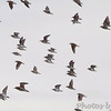 Sandpipers over Heron Pond <br /> Riverlands Migratory Bird Sanctuary