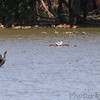 9/15/2011 <br /> American Avocet <br /> Pipeline pool west <br /> Confluence Point State Park