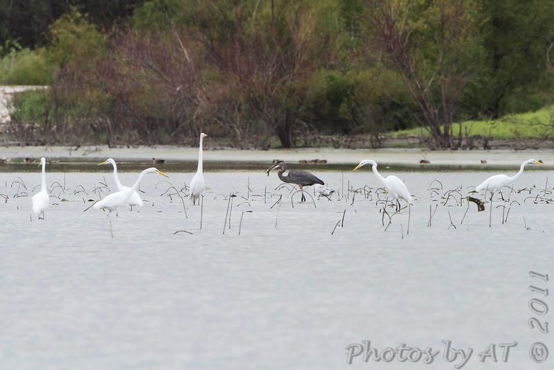 Great Egrets and Great Blue Heron <br /> Heron Pond <br /> Riverlands Migratory Bird Sanctuary