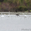 Great Egrets and Great Blue Heron <br /> Heron Pond <br /> Riverlands Migratory Bird Sanctuary