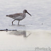 Willet <br /> Heron Pond <br /> Riverlands Migratory Bird Sanctuary