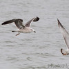 Lesser Black-backed and Ring-billed Gull <br /> Carlyle Lake Illinois