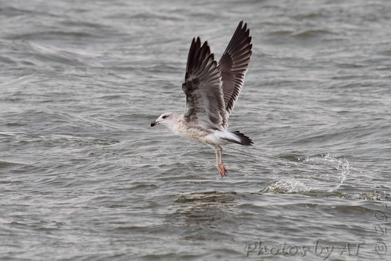 Lesser Black-backed Gull <br /> Carlyle Lake Illinois