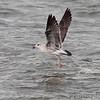 Lesser Black-backed Gull <br /> Carlyle Lake Illinois