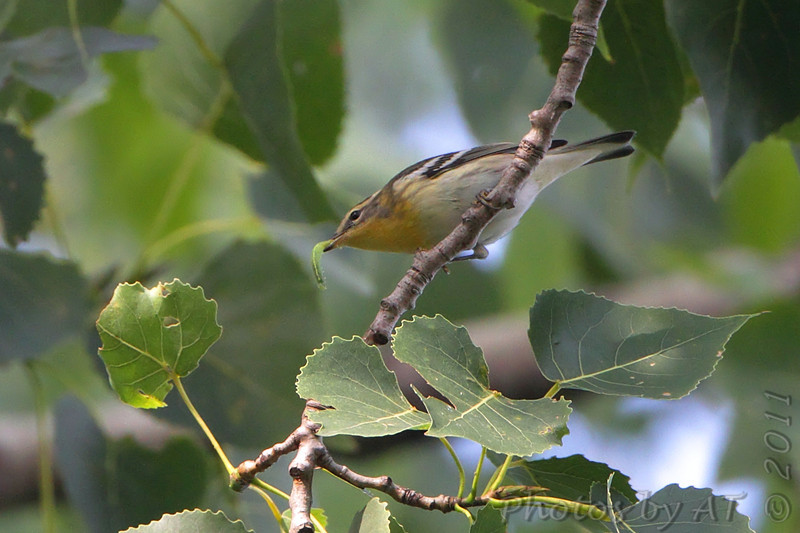 Blackburnian Warbler <br /> Trail at the point <br /> Confluence Point State Park