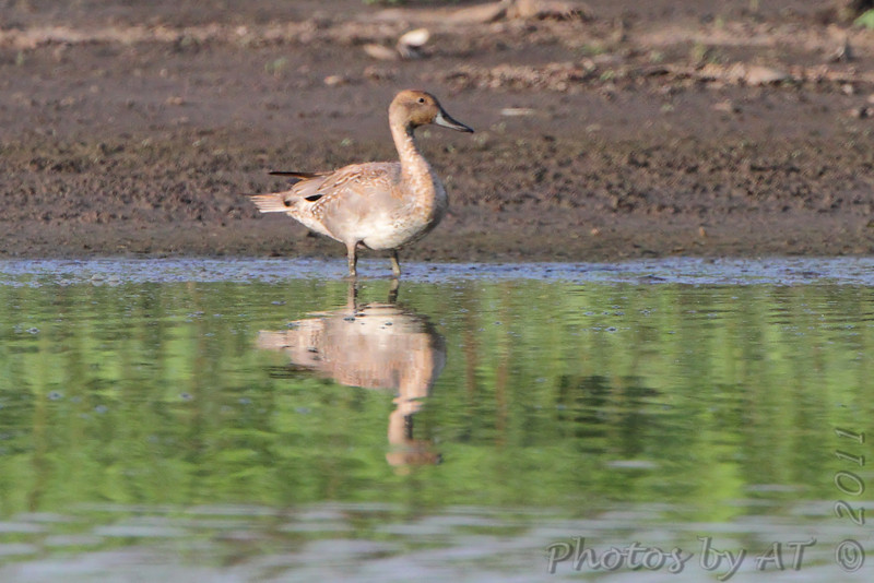 Northern Pintail  <br /> Pipeline pool west <br /> Confluence Point State Park
