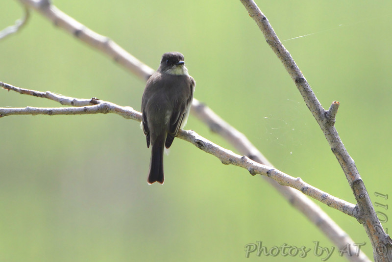 Eastern Phoebe  <br /> Confluence Point State Park