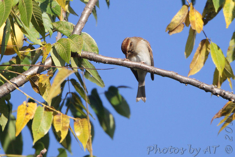 Chipping Sparrow <br /> Lake of the Ozark State Park <br /> ASM Fall Meeting
