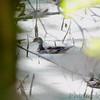 Wood Ducks <br /> Below Lake of the Ozark dam <br /> ASM Fall Meeting