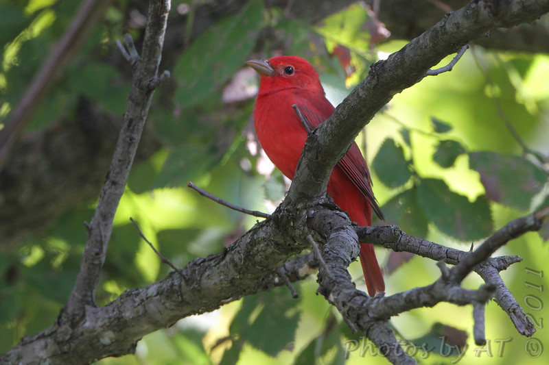 Summer Tanager (male) <br /> Lake of the Ozark State Park <br /> ASM Fall Meeting
