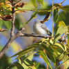 Blue-gray Gnatcatcher <br /> Lake of the Ozark State Park <br /> ASM Fall Meeting