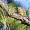 Eastern Bluebird <br /> Lake of the Ozark State Park <br /> ASM Fall Meeting