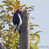Red-headed Woodpecker <br /> Lake of the Ozark State Park <br /> ASM Fall Meeting