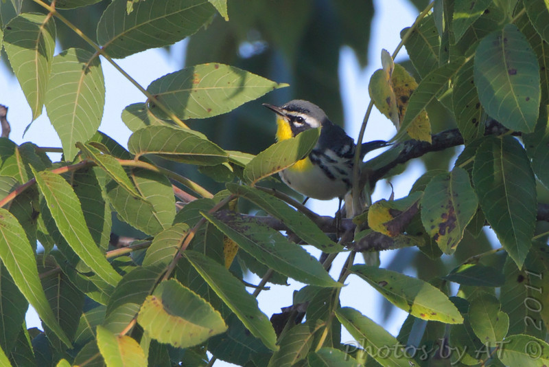 Yellow-throated Warbler <br /> Lake of the Ozark State Park <br /> ASM Fall Meeting