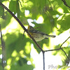 Northern Parula <br /> Below Lake of the Ozark dam <br /> ASM Fall Meeting