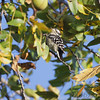 Downy Woodpecker <br /> Lake of the Ozark State Park <br /> ASM Fall Meeting
