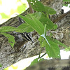 Black and White Warbler <br /> Lake of the Ozark State Park <br /> ASM Fall Meeting