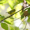 Wilson's Warbler <br /> Lake of the Ozark State Park <br /> ASM Fall Meeting