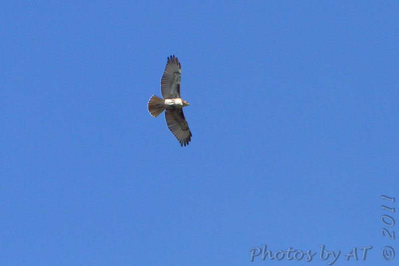 Red-tailed Hawk <br /> Saline Valley Conservation Area  <br /> ASM Fall Meeting