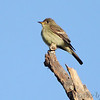 Eastern Wood-Pewee <br /> Saline Valley Conservation Area  <br /> ASM Fall Meeting