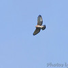 Broad-winged Hawk <br /> Saline Valley Conservation Area  <br /> ASM Fall Meeting