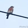 Eastern Bluebird <br /> Saline Valley Conservation Area  <br /> ASM Fall Meeting