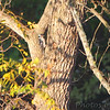 Hairy Woodpecker <br /> Saline Valley Conservation Area  <br /> ASM Fall Meeting