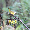Mourning Warbler <br /> Saline Valley Conservation Area  <br /> ASM Fall Meeting