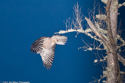 Northern Hawk Owl @ night