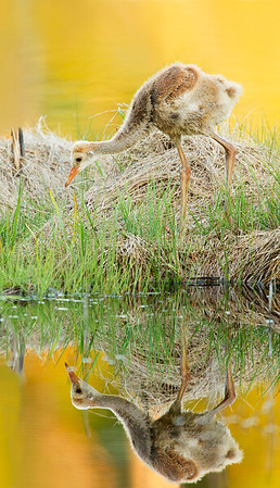 Last image of the Lake Sylvan chick with a reflection.  He's about 30 days old here