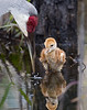 This is the front cover image for the 2012 Audubon Florida Assembly.  It is a 11.5 x 14.5 cropped version of image #10.  The chick here is less than one week old