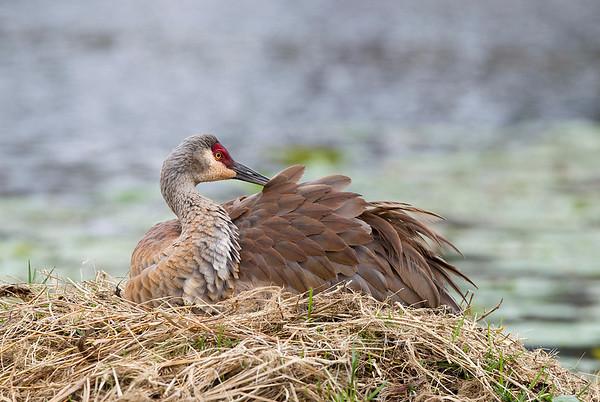 Female preening prior to chicks birth
