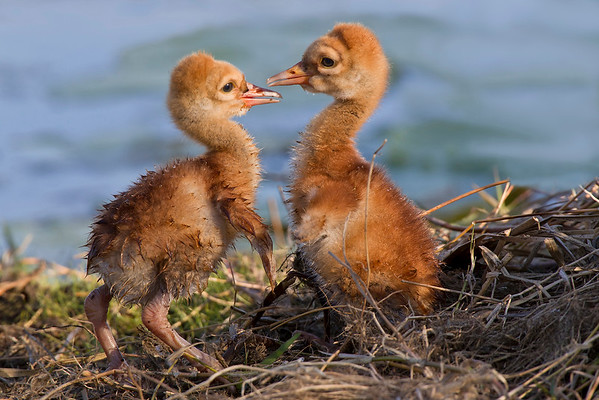 The Debary Plantation chicks their first afternoon.