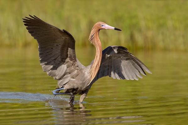 2011 Reddish Egret