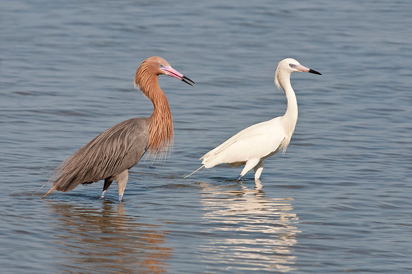 Reddish Egret and a white morph reddish egret