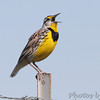 Eastern Meadowlark <br /> Taberville Prairie Conservation Area
