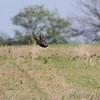 Greater Prairie Chicken <br /> Taberville Prairie Conservation Area