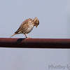 Savannah Sparrow <br /> Taberville Prairie Conservation Area