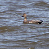 Gadwall (hybrid?) <br /> Riverlands Migratory Bird Sanctuary